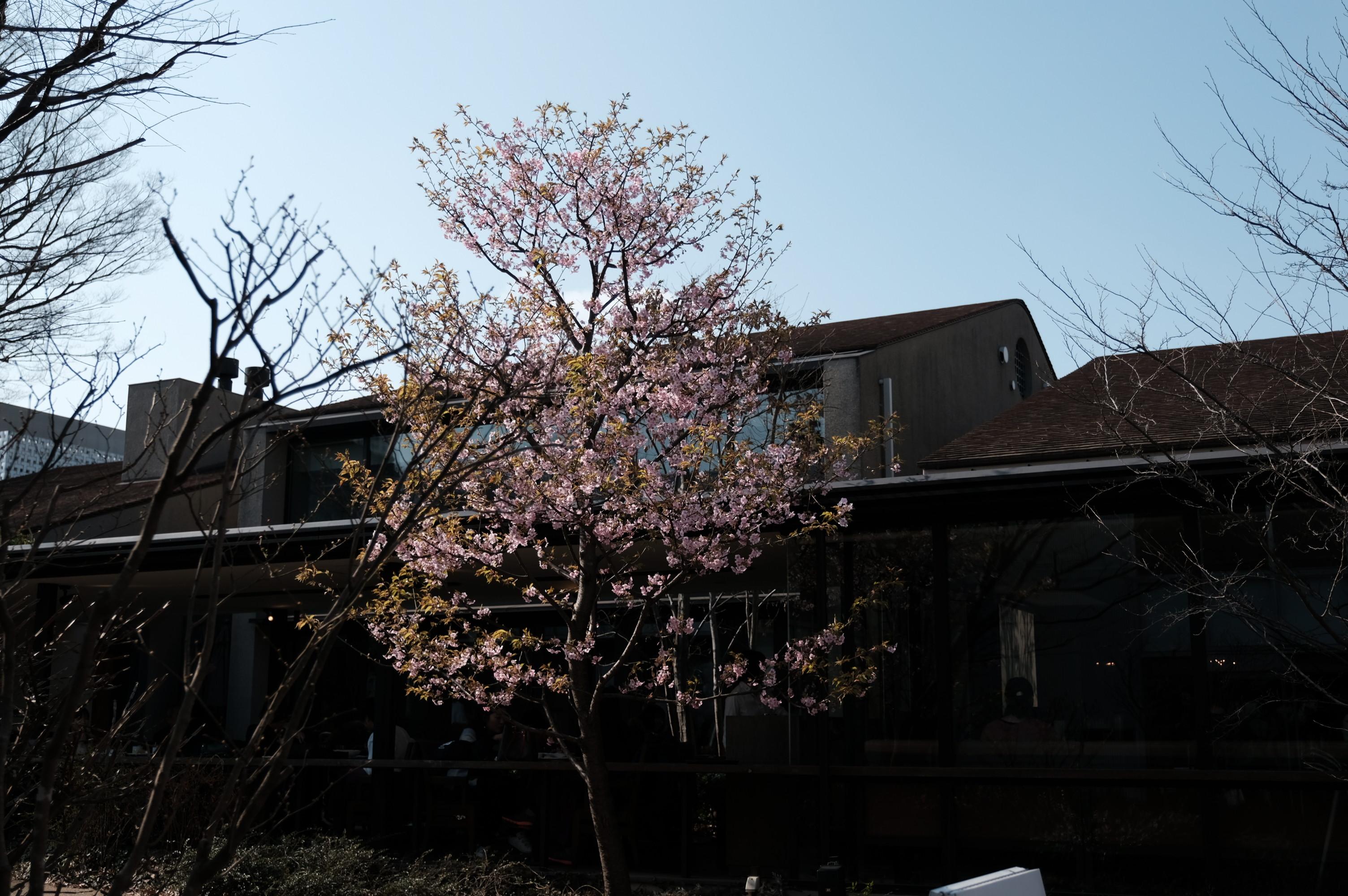 代官山蔦屋書店の梅の木