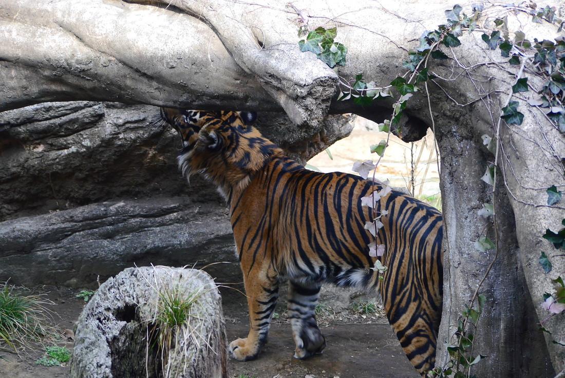 上野動物園 虎