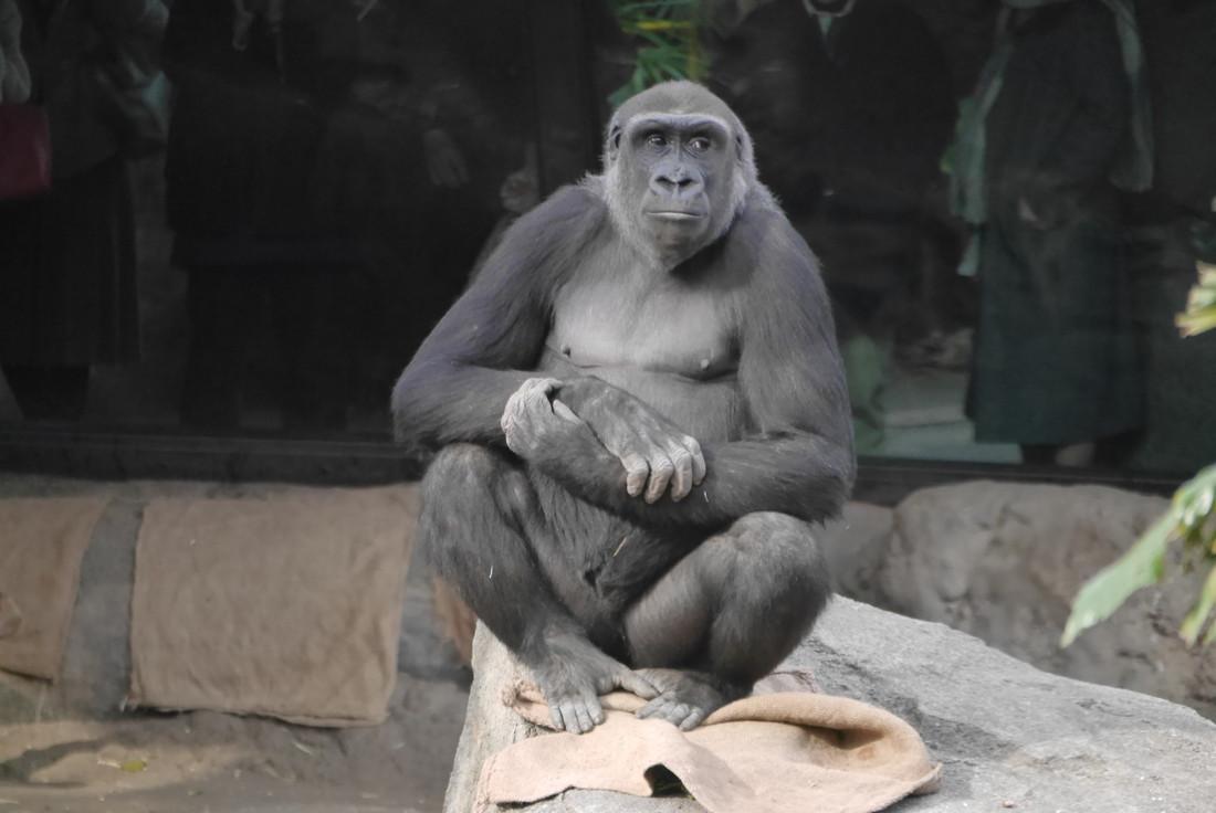 上野動物園 ゴリラ