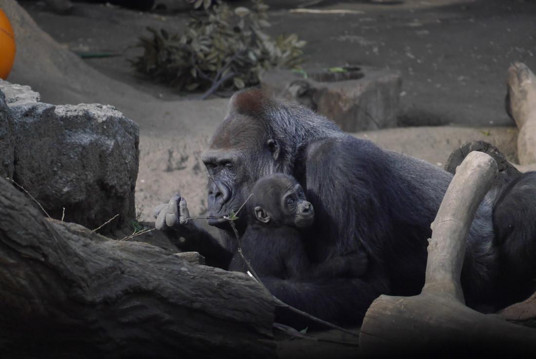上野動物園 親子ゴリラ