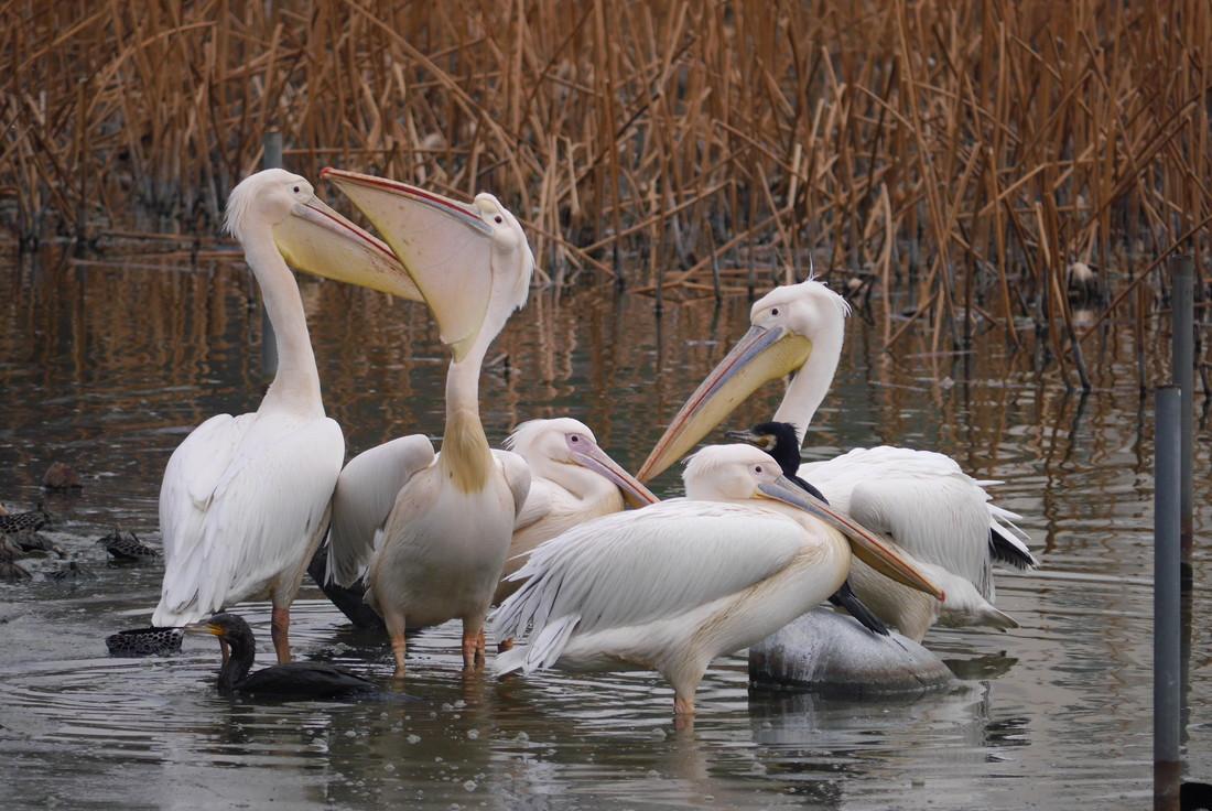 上野動物園不忍池 ペリカン