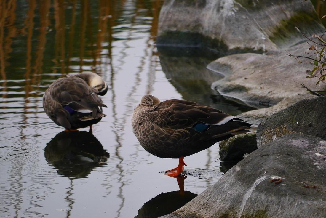 上野動物園 不忍池 カモ