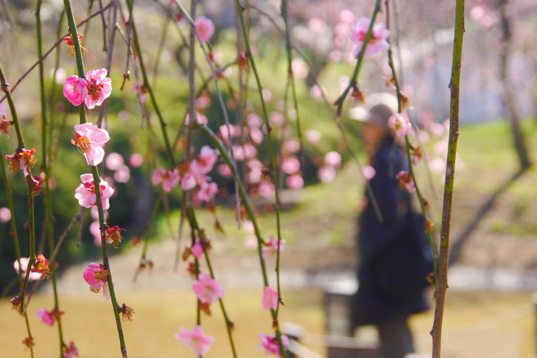 大倉山公園 梅林