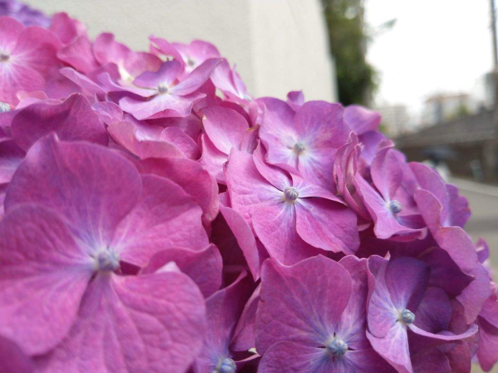 スマホで撮った紫陽花