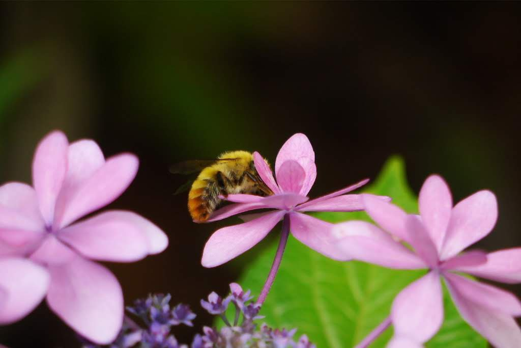 紫陽花に蜂 作例