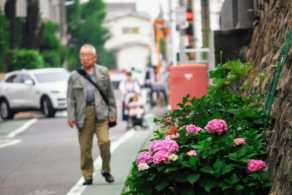 通行人と紫陽花