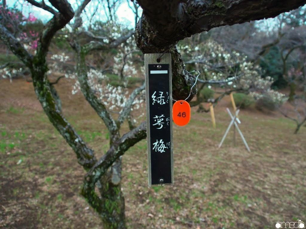 大倉山公園 梅林 緑萼梅