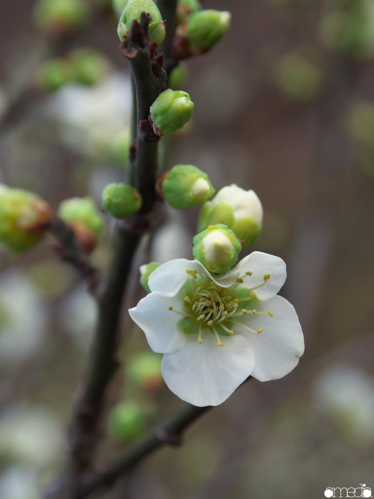 大倉山公園 梅 緑萼梅
