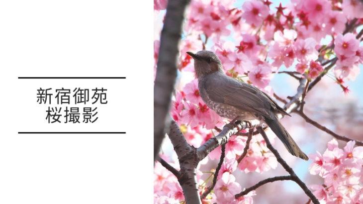 新宿御苑 桜撮影