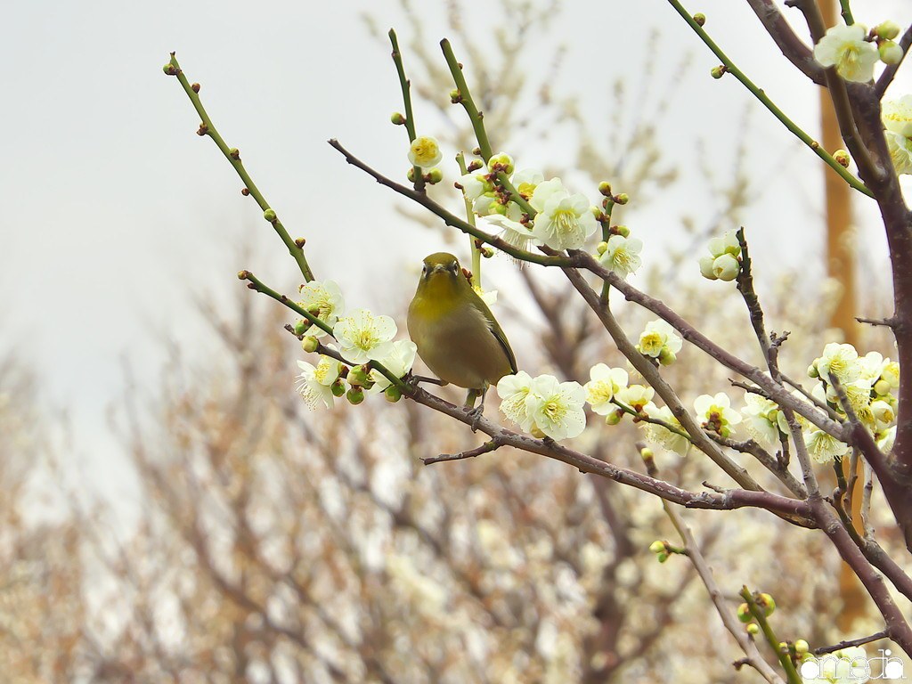 羽根木公園 梅ジロー 2019