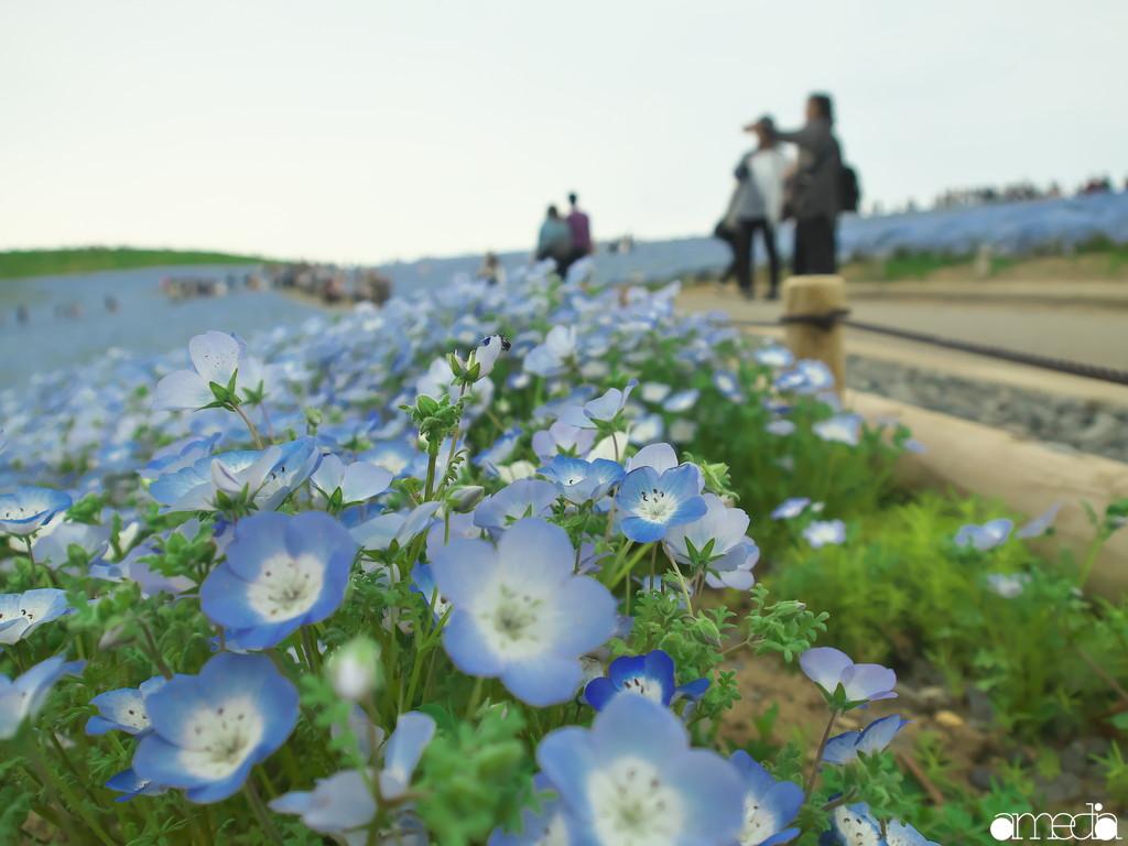 国営ひたち海浜公園 ネモフィラ